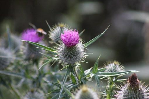 Thistle, Scotland, Purple, Scottish, Symbol