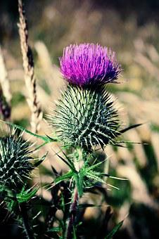 Scotland, Thistle, Scottish, Flower