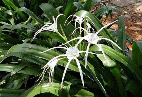 Spider Lily, Hymenocallis Littoralis, Amaryllidaceae