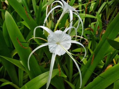 Spider, Lily, Plant, Flower, Nature, Blossom, Garden