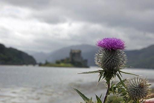 Thistle, Scotland, Scottish, Symbol, Purple