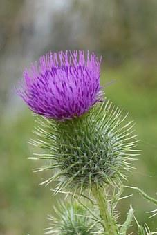 Thistle, Macro, Flower, Scotch, Scottish, Weed, Purple