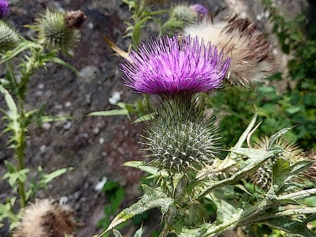 Scottish, Thistle, Scotland, Purple, Flower, Symbol