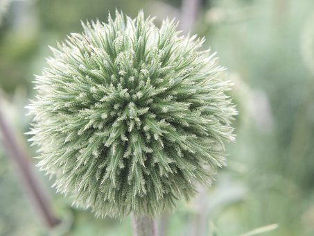 Thistle, Globe Thistle, Plant, Prickly, Spiny, Globose