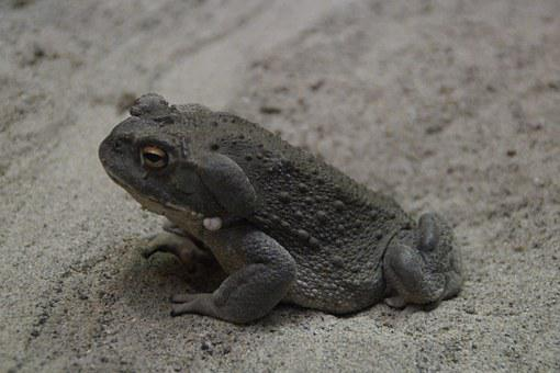 Toad, Common Toad, Animal, Warts, Thick, Frog