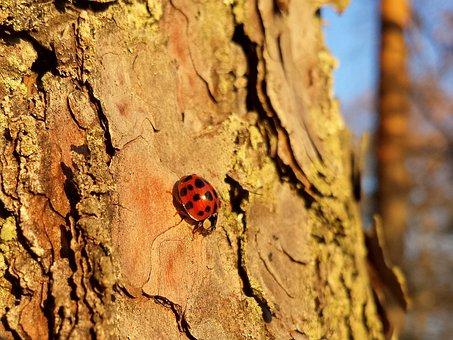 Ladybug, Lady Beetle, Ladybird, Beetle, Forest, Tree