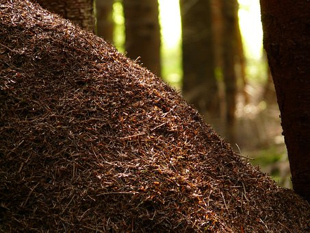 Wood Ants, Ants, Formica, Red Wood Ant, Formica Rufa