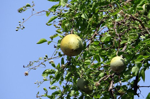 Aegle Marmelos, Golden Apple, Ripe, Stone Apple, Bilva
