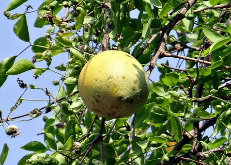Aegle Marmelos, Golden Apple, Bengal Quince, Wood Apple