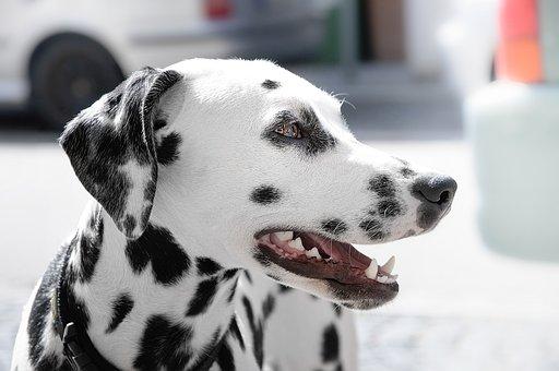 Animal, Animal Photography, Dalmatian, Dog