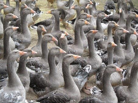 Breeding Geese, Périgord