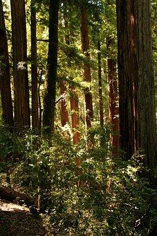 Giant, Redwood, Trees, California, Tree, Organic