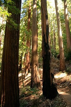 Redwood, Giant, Trees, California, Path, Natural, Tall