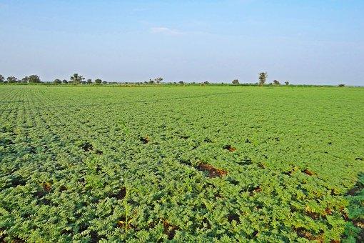 Chickpea, Cultivation, Bengal Gram, Cicer Arietinum