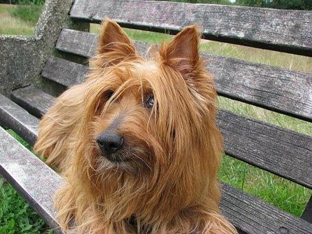 Australian Terrier, Dog, Terrier, Canine, Pet, Animal