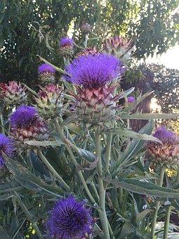 Artichoke, Flower, Flowerhead, Flora, Botanical
