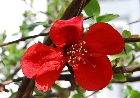 Japonica, Japanese Quince, Spring, Flower, Wildflower