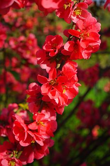 Japanese Ornamental Quince, Flowers, Branch, Red