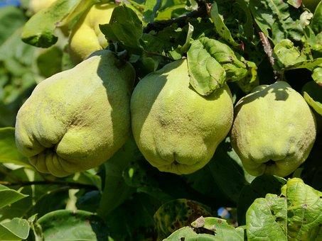 Fruit, Quince, Autumn, Harvest, Nature, Plant, Tree