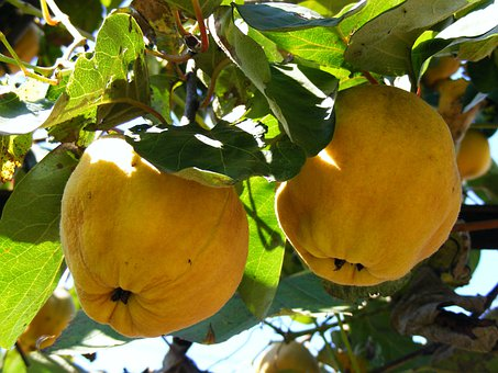 Quince, Trees, Fruits, Golden, Yellow, Pome Fruit