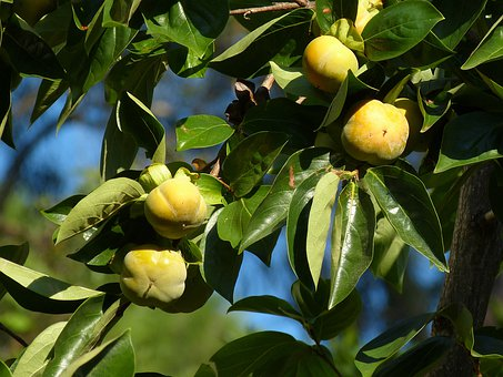 Kaki, Fruit, Persimmon Tree, Vitamins, Fruits, Exotic