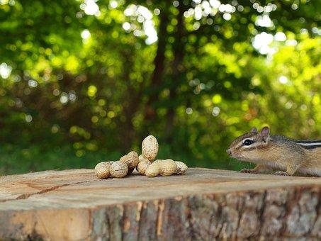 Chipmunk, Animal, Critter, Cute, Nature, Woods, Food