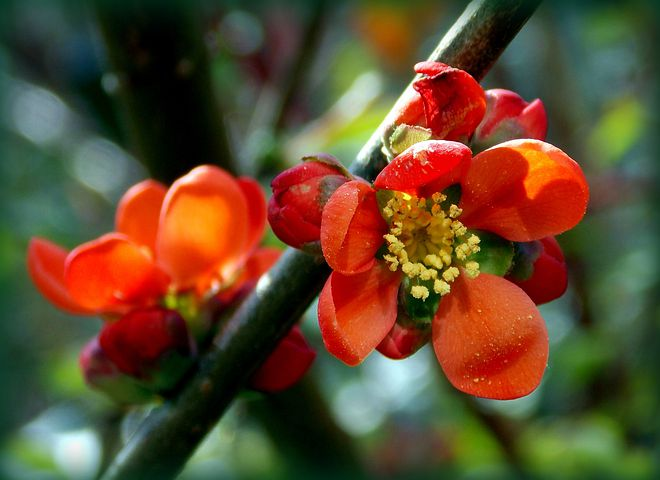 Japanese Ornamental Quince, Ornamental Quince