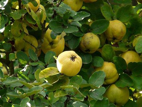 Quince, Fruit, Cydonia Oblonga, Cydonia