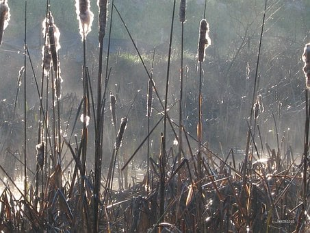 Cattails, Typha, Plants, Tall, Reeds, Marsh, Brown