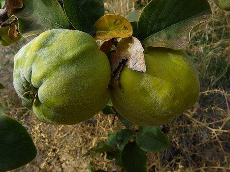 Quince, Fruit, Plant, Leaf, Tree, Pome Fruit