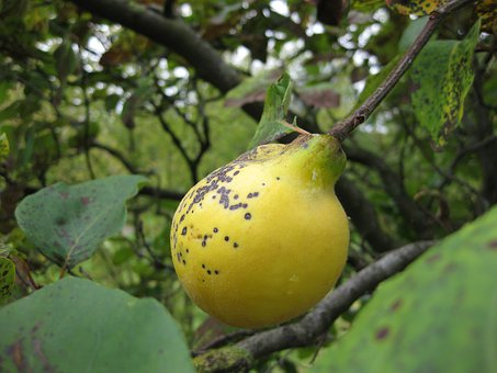 Quince, Fruit, Tree, Yellow, Leaf, Pome Fruit
