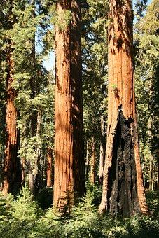 Yosemite, Giant, Redwood, Trees, California, Tree