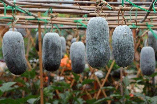 Winter Melon, Plant, Vines