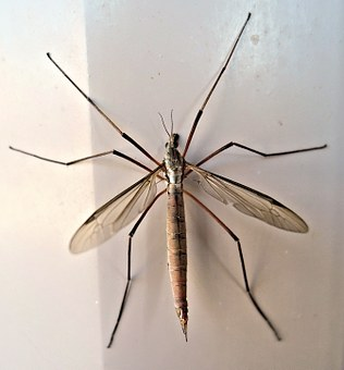 Crane Fly, Insect, Late Summer, Animal, Daddy Long Legs