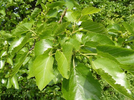 Anthocyanins, Broussonetia, Colorants, Fruits, Green