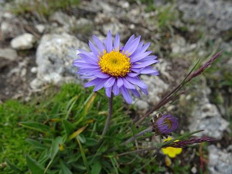 Alpine Aster, Aster Alpinus, Alps Starflower, Gamsblüh