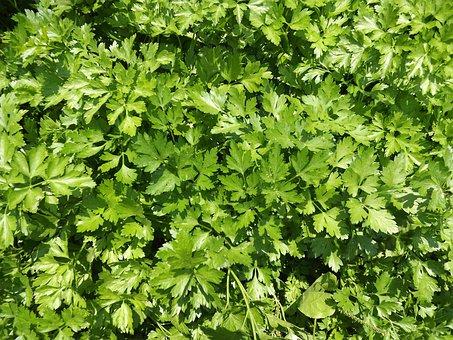 Parsley, Seasoning, Background, Green, Garden, Grass