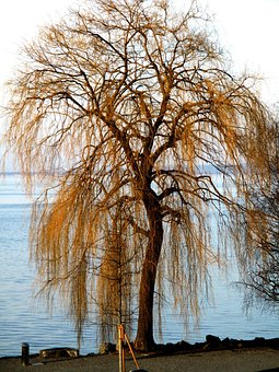 Weeping Willow, Tree, Bank, Lakeside, Sea route, Sun