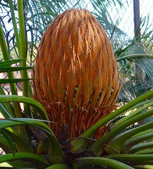 Cycad, Sago Palm, Cone, Female, Karnataka, India