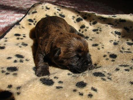 Cairn Terriers, Dog, Puppy