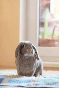 Rabbit, Gray, Fur, Eye, Ear, Smooth, View, Animal, Lamb