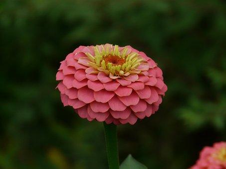 Zinnia, Flowers, Colorful, Color, Zinnia Violacea