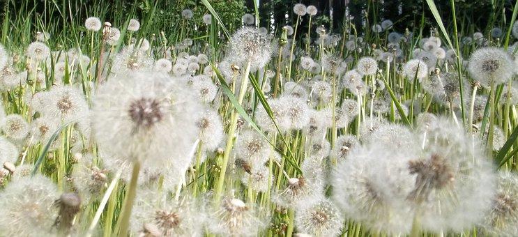 Dandelions, Field, Wish, Nature, Summer, Season, Green