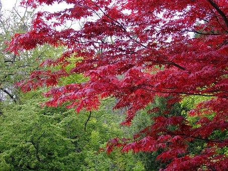 Maple, Japanese, Acer, Tree, Japanese Maple, Leaves