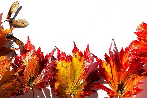 Japanese Maple, Maple Leaves, Leaves, Hebrst