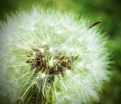 Dandelion, Plant, Weed, Seeds, Nature, Green, Wild