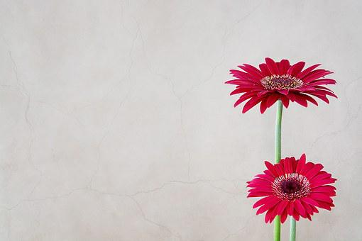 Gerbera, Flower, Flowers, Pink, Red, Close