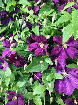 Clematis, Flower, Nature, Plant, Purple, Stars Shap