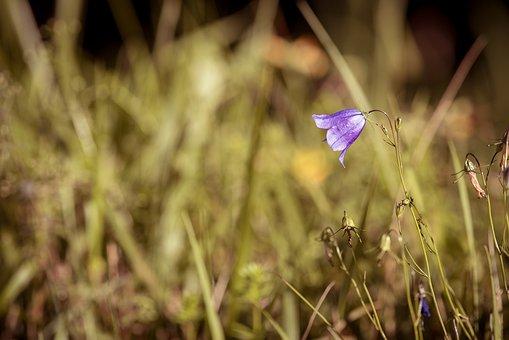 Round Leaved Bellflower, Campanula Rotundifolia, Flower