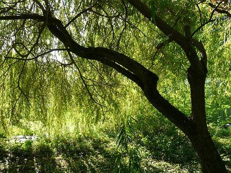 Pasture, Tree, Depend, Salix Babylonica, Weeping Willow